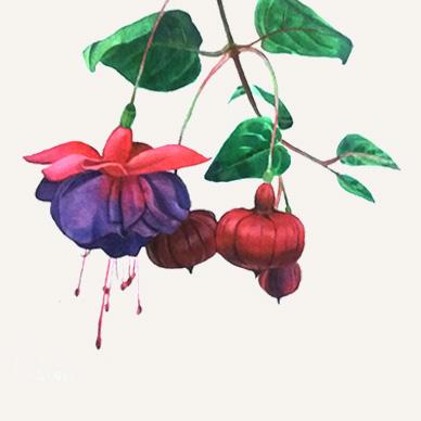 Fuchsia flower study