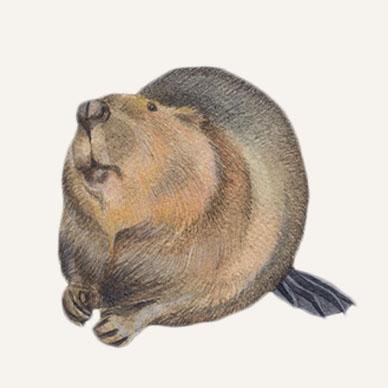 beaver scientific drawing