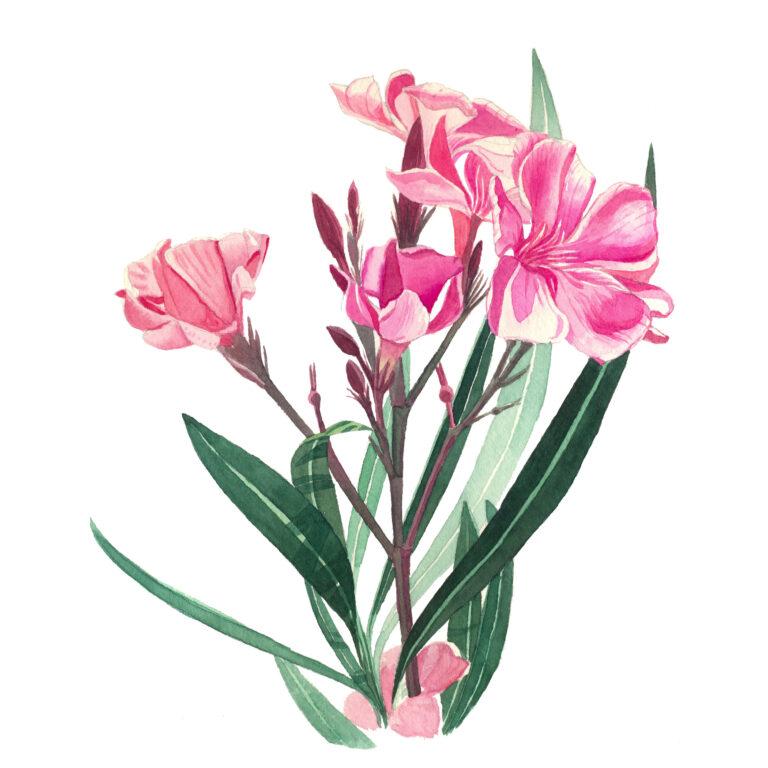 pink oleander art