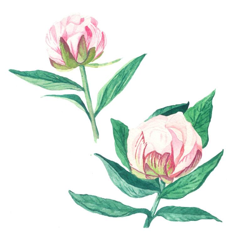 Peonies flowers watercolor